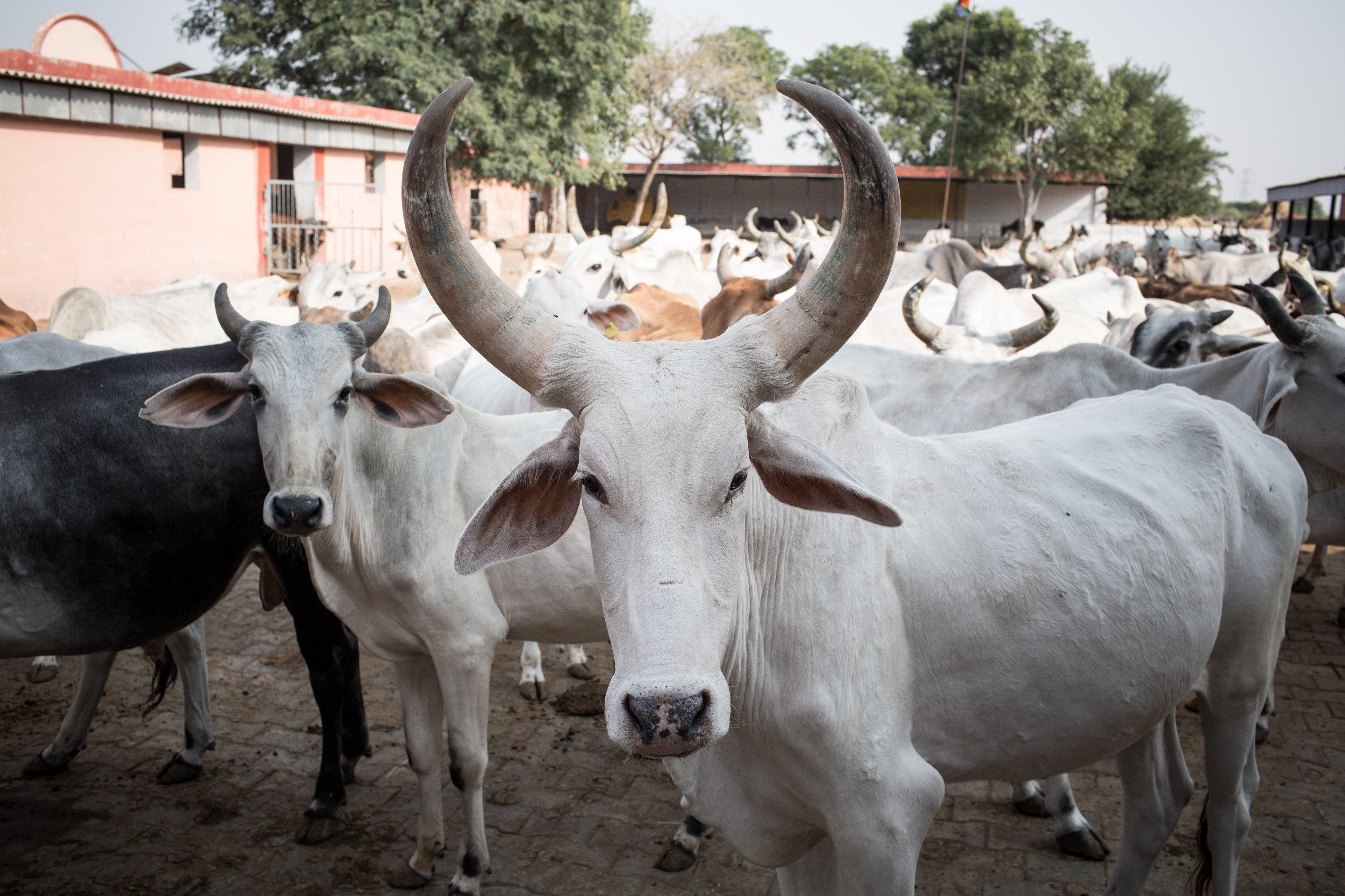 'We will hang those who kill cows'